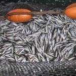 Skarpsillfiske