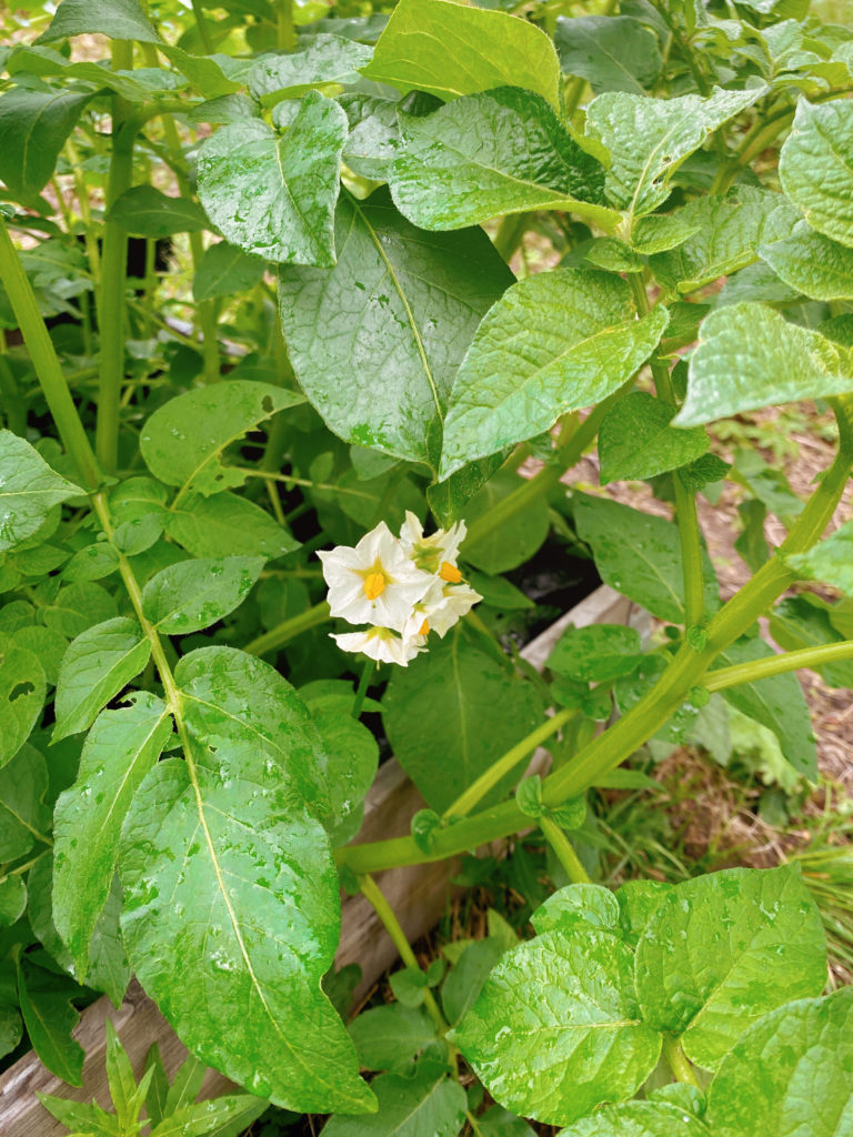 Three Things Friday Log Cabin Lady Potatoes in Bloom