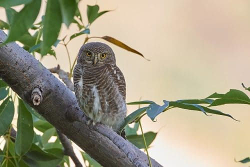owl for spell