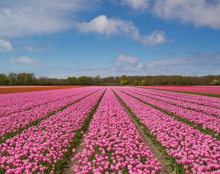 pink, tulip, bulb-2254972.jpg