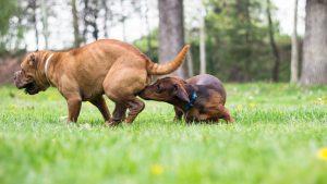 hund som löper