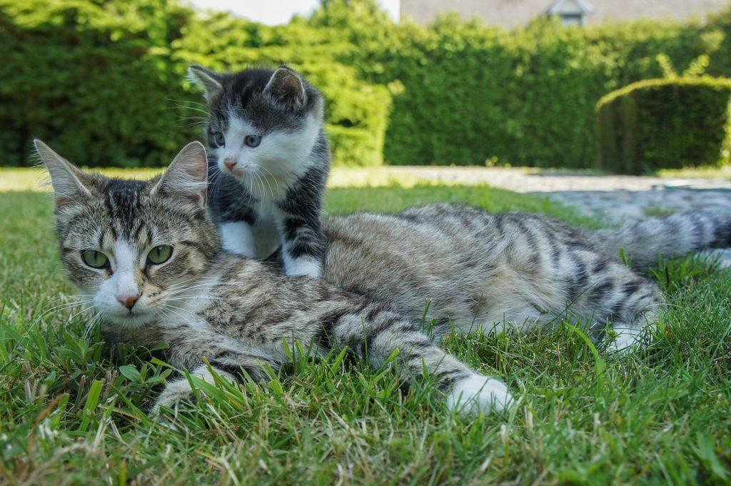 Kattunge med mor