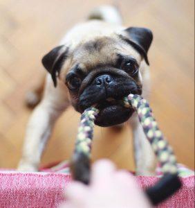 Hundeleker. Bildet viser hund som drar i leke