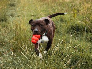 Hundeleker. Bildet viser hund med kong