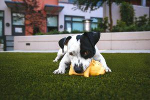Hund med pipeleke