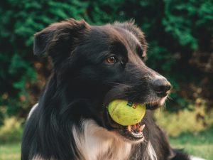 Hundeleker.  Bildet viser en sort hund med ball i munnen.