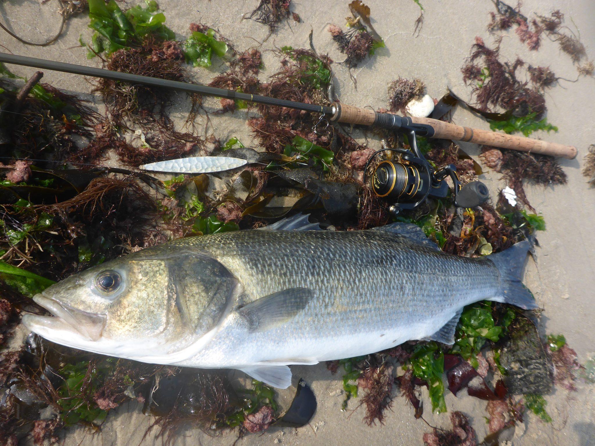 Lystfiskeri efter havbars nær Skagen bliver mere og mere populært.