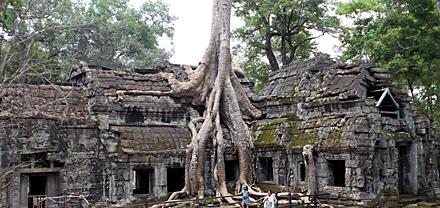 Træ der vokser i en af Angkors mange ruiner