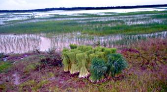 Rismarker i Cambodja