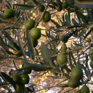 olive MANIPURA LIVING