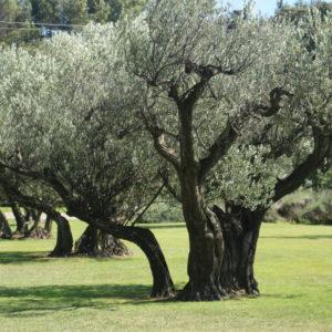 olivenlunde hos chateau d'estoublon