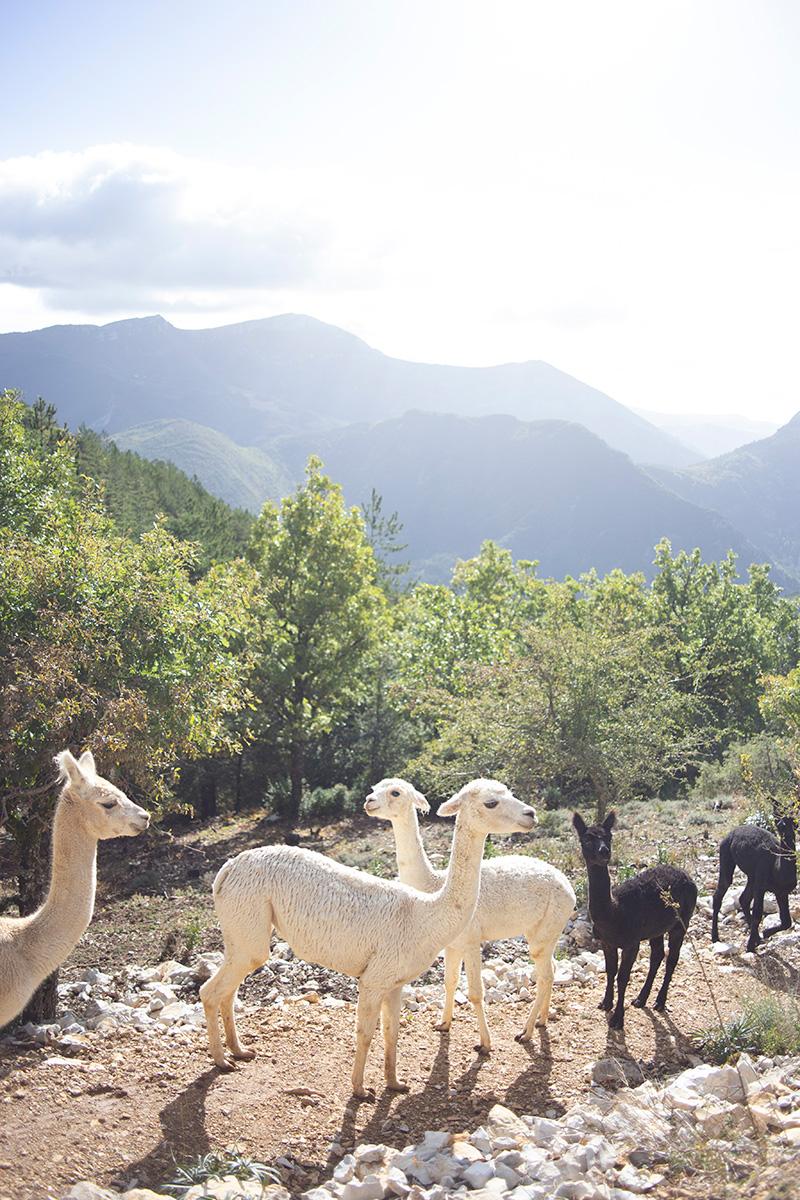 Photographie d'alpagas réalisée par la Visual Storyteller Mathilde Troussard chez la Bergère d'Alpagas