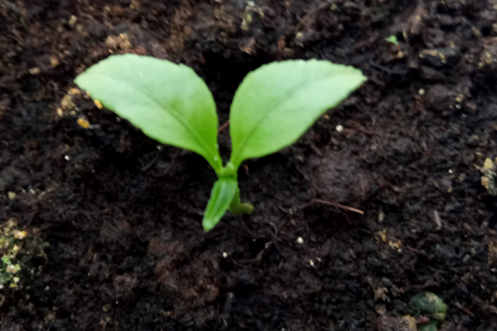 In mid-October, 2020, I planted 5 lemon seeds in the ground, from the lemons that my wife, Cornelia, squeezed to make sweet cheese. Only one sprouted. I took the pot and placed it in the window. A lemon tree began to take shape.