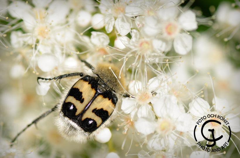 En humlebagge som söker efter pollen
