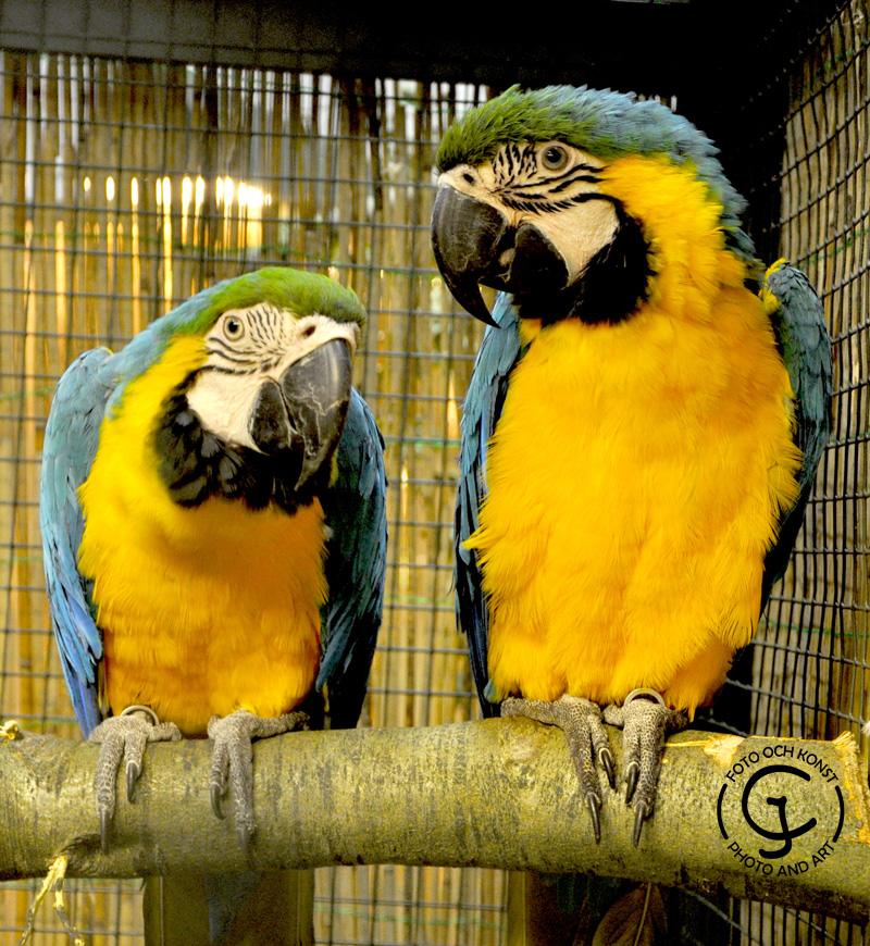 Two blue-yellow macaws are sitting on a branch.