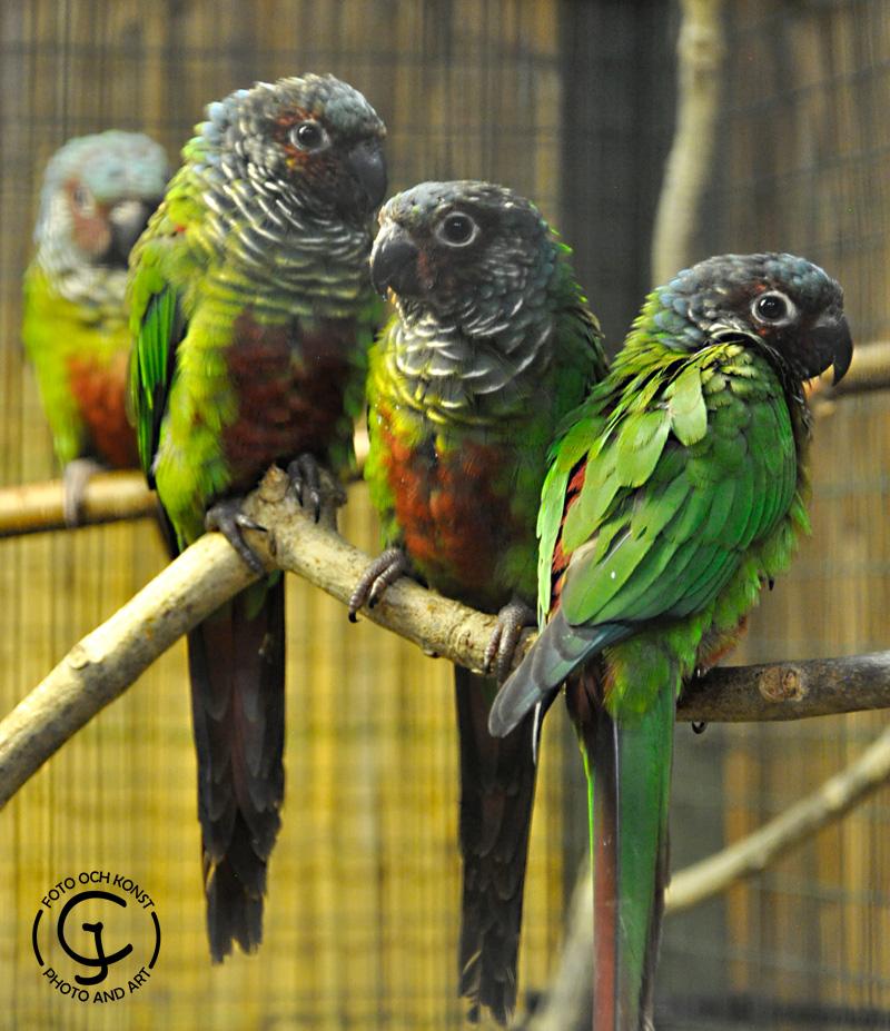 Some Venezuelan Parakeets