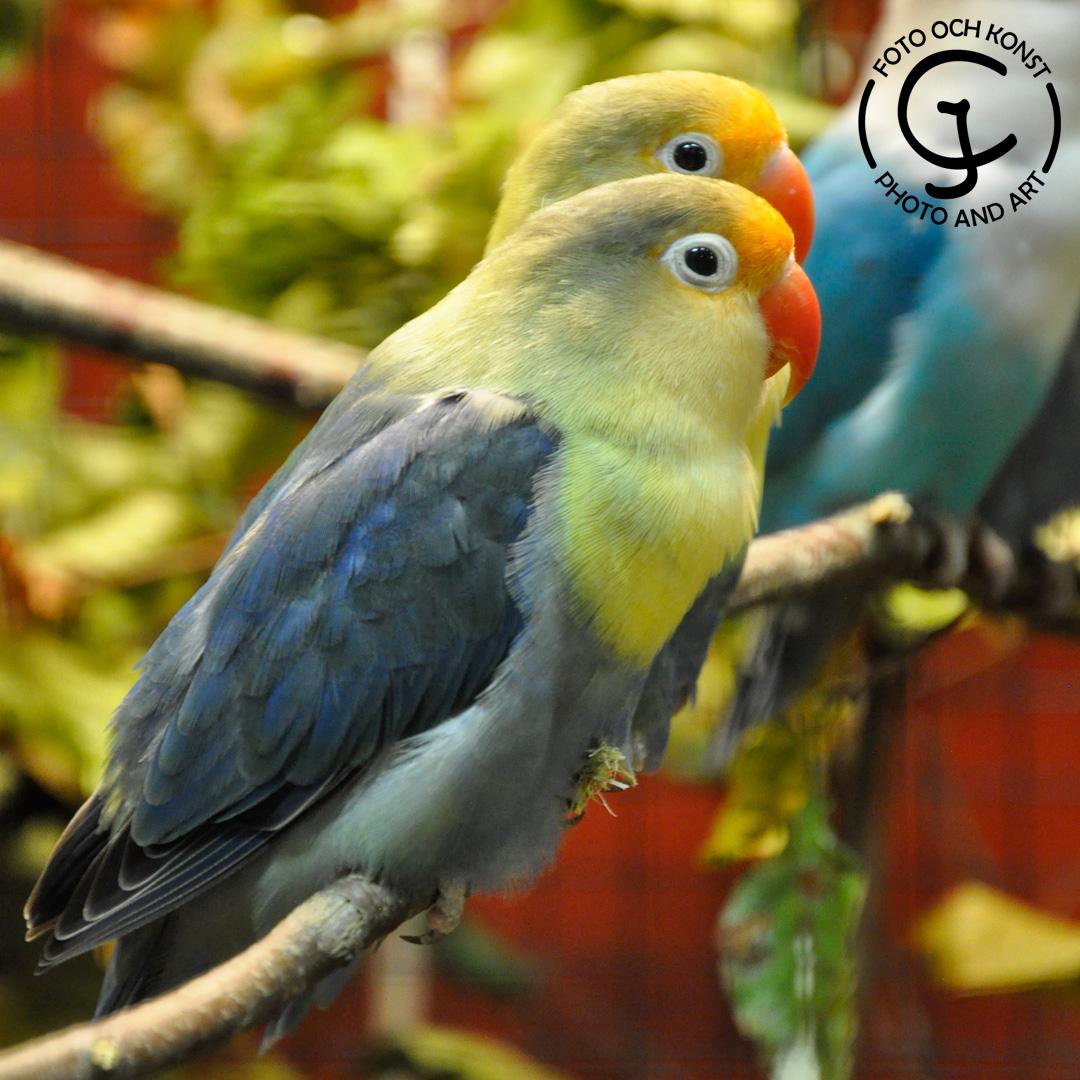 The bird is a colormutation of Fischer's Lovebird.