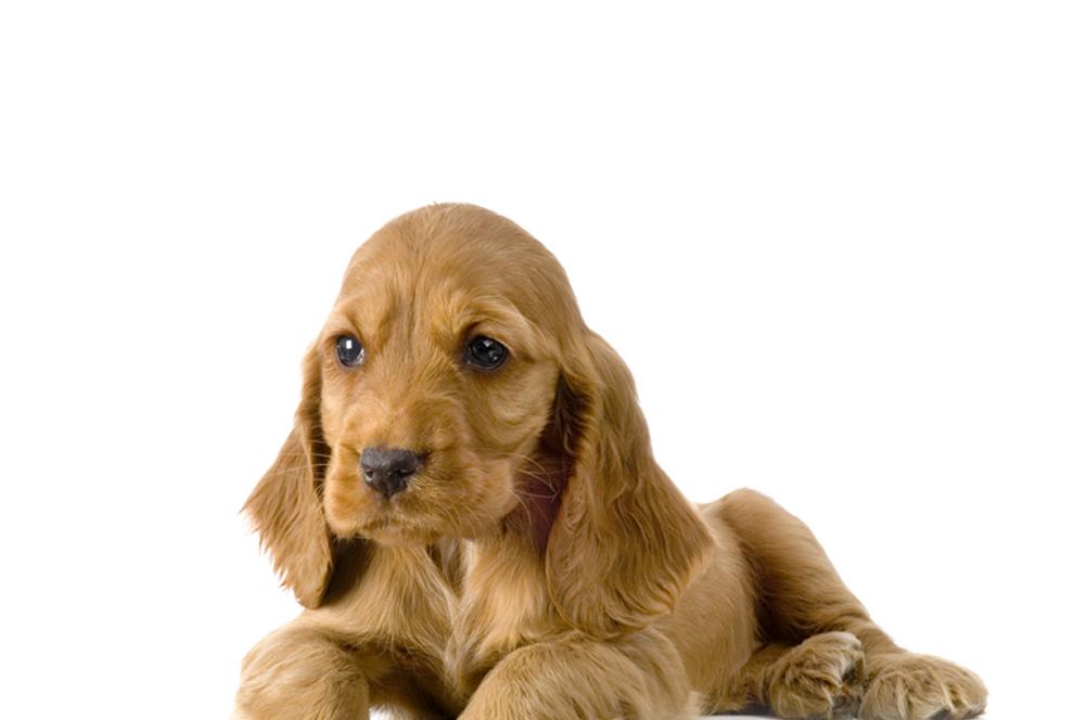Puppy Cursus – Online