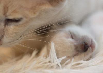 Närbild på siameskattunges nos med sin mamma i bakgrunden