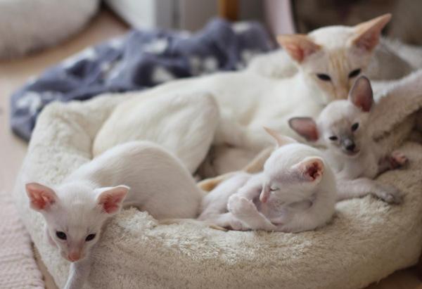 Siameskatt med sina kattungar