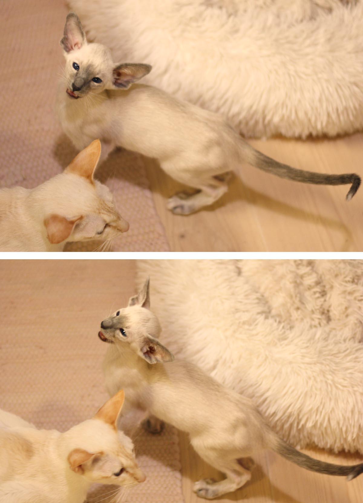Två sovande siameskattungar som håller om varandra