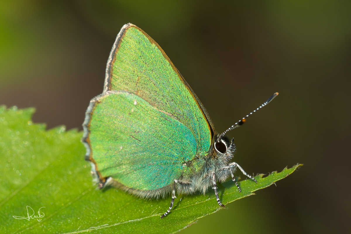 Groentje /  Green Hairstreak (Callophrys rubi)