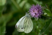 Klein geaderd witje / Green-veined White (Pieris napi)