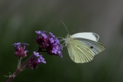 Groot koolwitje / Large White (Pieris brassicae)