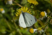 Klein koolwitje / Small White (Pieris rapae)