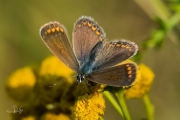 Icarusblauwtje, vrouwtje / Common Blue, female (Polyommatus icarus)