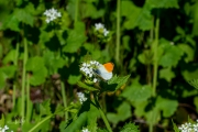 Oranjetipje, mannetje / Orange Tip, male (Anthocharis cardamines)