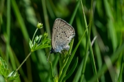 Gentiaanblauwtje / Alcon Blue (Phengaris alcon)