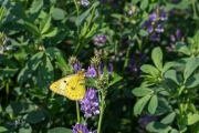 Gele luzernevlinder / Pale Clouded Yellow (Colias hyale)