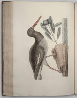 Oystercatcher - Mark Catesby - Natural History of Carolina
