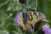 Distelvlinder / Painted Lady (Vanessa cardui)
