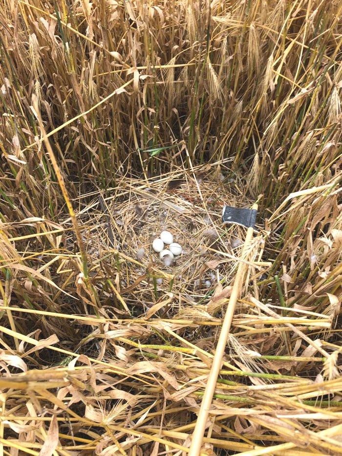 Nest bruine kiekendief in het gerst / Nest Western Marsh Harrier in the barley