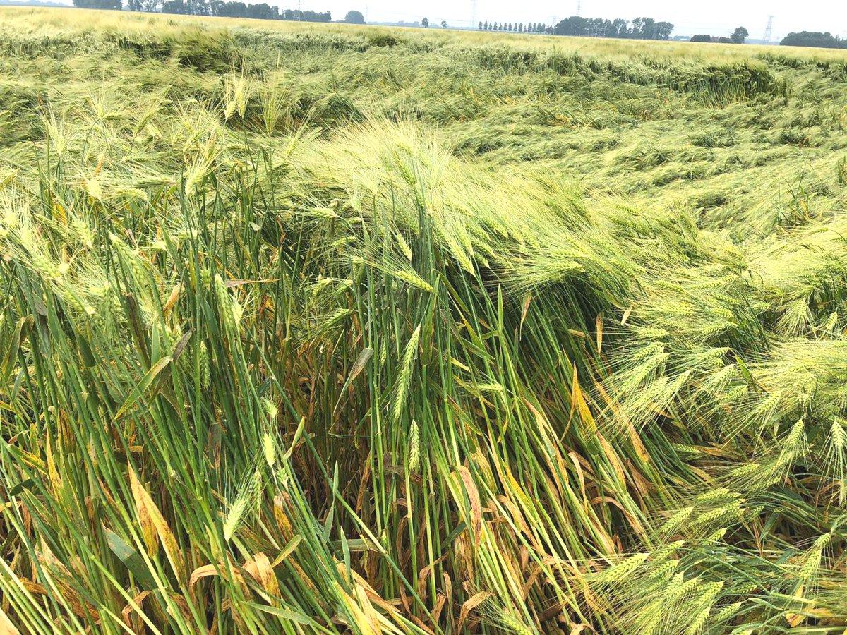 Nest grauwe kiekendief tussen het gerst / Nest of the Montagu's Harrier among the barley