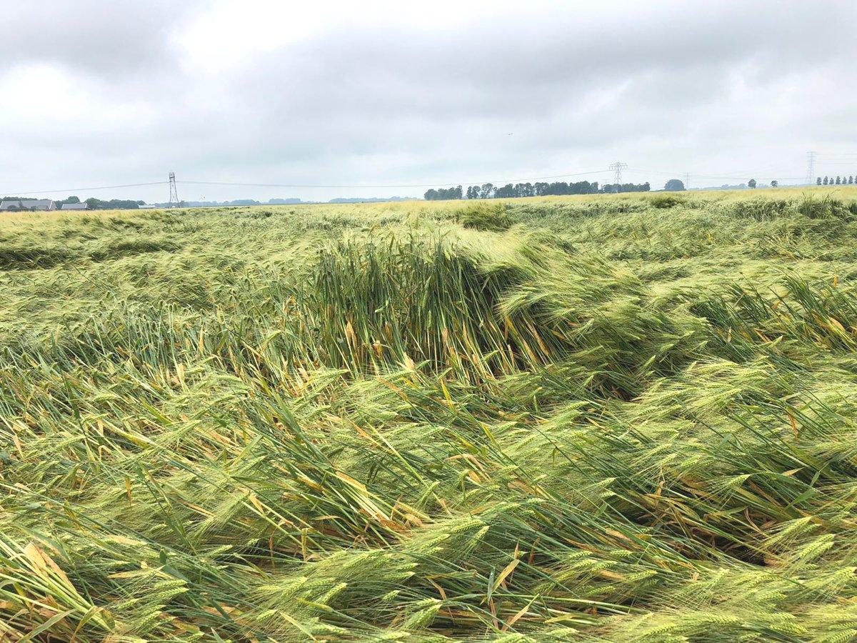 Platgeslagen gerst / Flat-blown barley