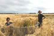 Beschermkooi plaatsen in het gerst / Placing the protective cage in the barley