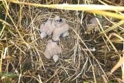 Nest van grauwe kiekendief / Nest Montagu's Harrier