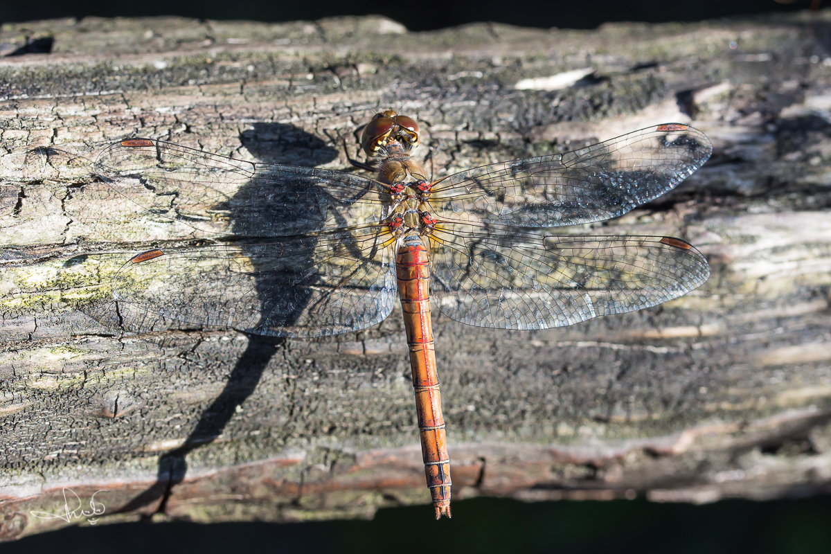 Bruinrode heidelibel / Common Darter (Sympetrum striolatum)