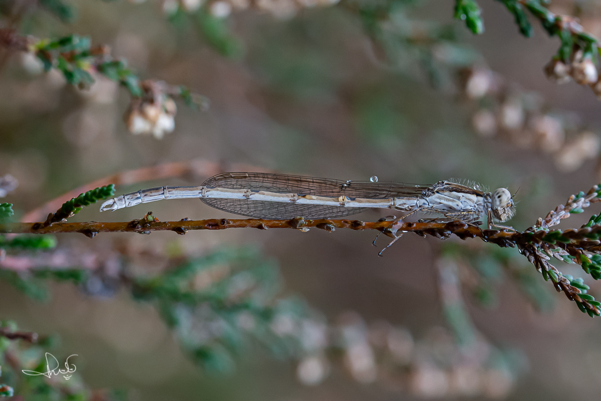 Bruine winterjuffer / Common Winter Damsel (Sympecma fusca)