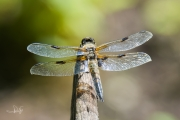 Viervlek / Four-spotted Chaser (Libellula quadrimaculata)