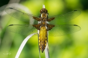 Platbuik, jong mannetje / Broad-bodied Chaser, young male (Libellula depressa)