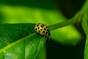 Citroenlieveheersbeestje - 22-Spot ladybird (Psyllobora vigintiduopunctata)