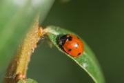 Zevenstippelig lieveheersbeestje - 7-Spot ladybird (Coccinella septempunctata)