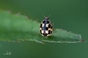 Schaakbordlieveheersbeestje - 14-Spot ladybird (Propylea quatuordecimpunctata)