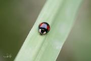 Aziatisch lieveheersbeestje - Harlequin ladybird (Harmonia axyridis conspicua)