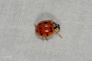 Aziatisch lieveheersbeestje - Harlequin ladybird (Harmonia axyridis succinea)