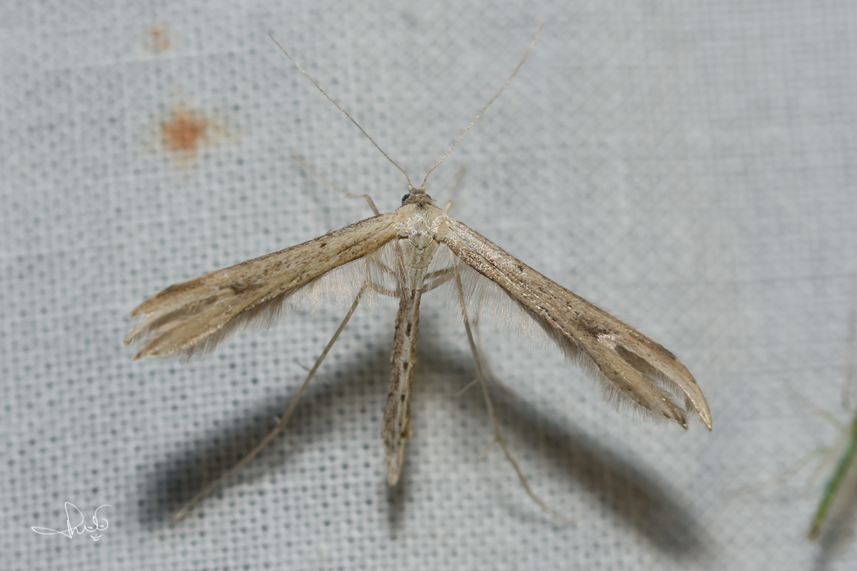 Windevedermot / Morning-glory Plume Moth (Emmelina monodactyla), micro